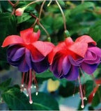Fuchsia Lanterns Seeds (10 pcs)