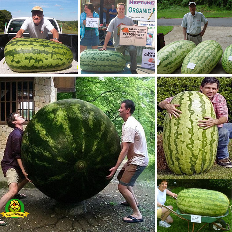 Giant Watermelon Seeds (50 pcs)