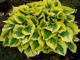 Hosta Perennial Seeds (100 pcs/bag)