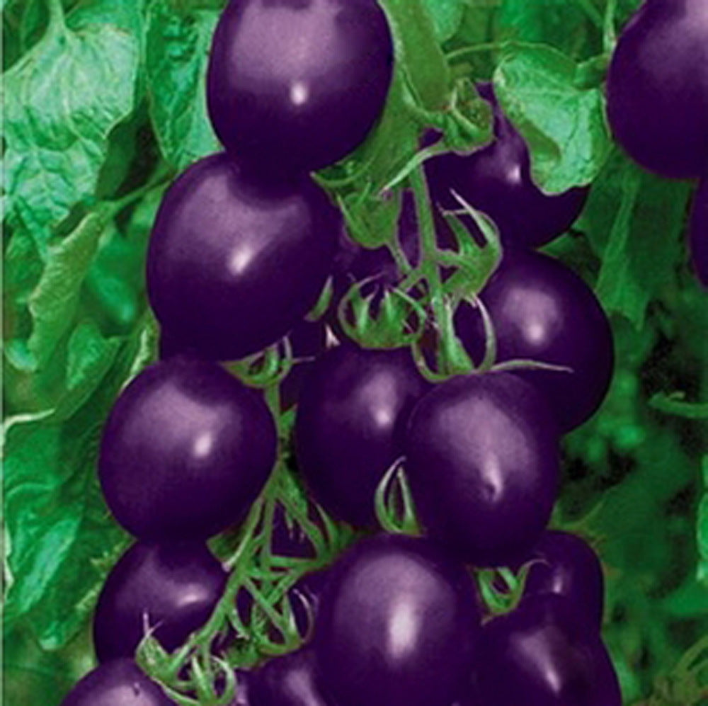 Purple Tomato Seeds (200 pcs)