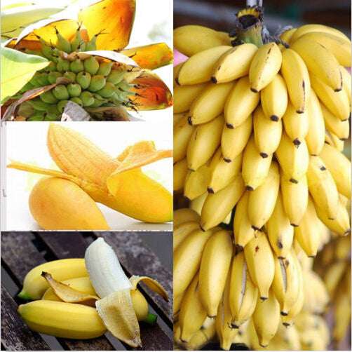 Dwarf Banana Tree Seeds (100 pcs)