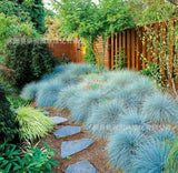 Blue Fescue Grass Seeds (100pcs)