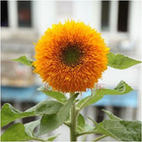 Mini Sunflower Seeds (20 pcs)