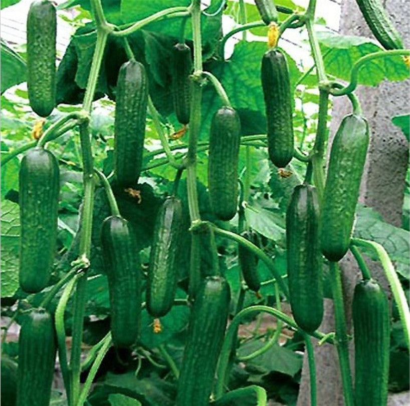 Cuke Cucumber Seeds (50 pcs)