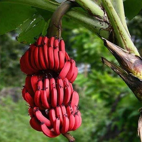 Rare Red Banana Seeds (40 pcs)
