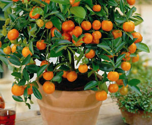 Mandarin Bonsai Tree Seeds (30 pcs)