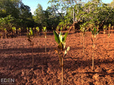 Mangrove Trees Planted in new Plantation