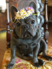 Violet the Frenchie with her crown of Asters