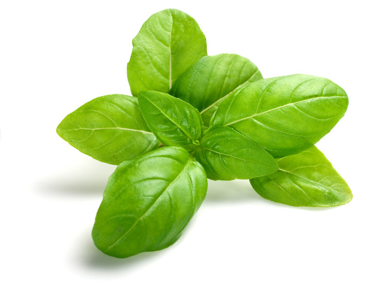 Pure Basil Essential Oil
