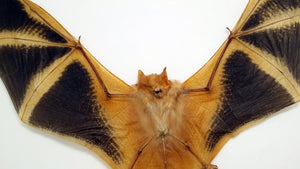 Kerivoula Picta Orange Fire Painted SPREAD Bat Specimen