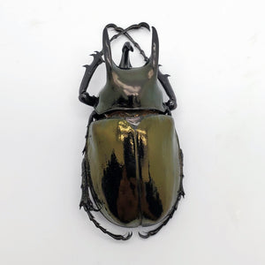 Dynastinae Atlas Beetle Chalcosoma keyboh Insect
