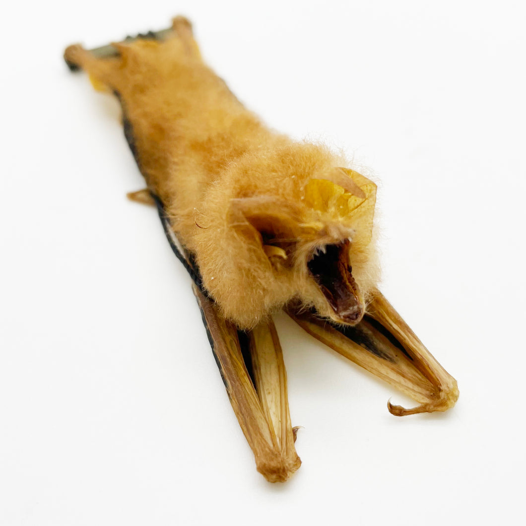 Kerivoula Picta Orange Fire Painted HANGING Bat Specimen