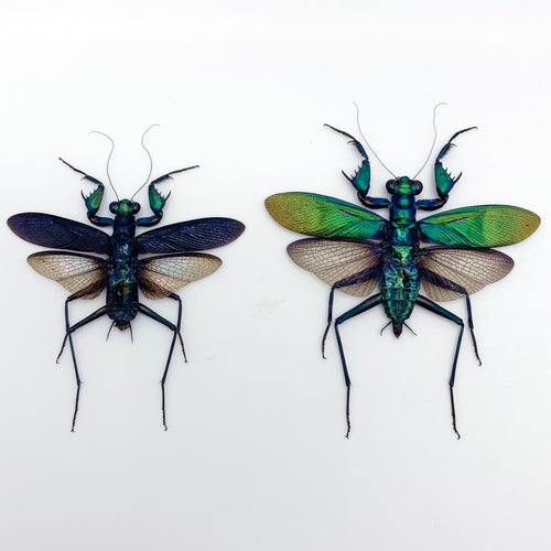 Metallic Praying Mantis Insect (Metallyticus Splendidus) (Pair) (Spread)