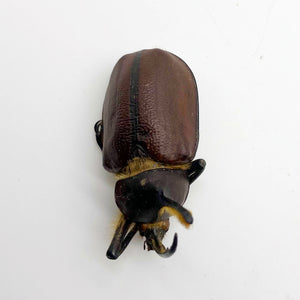 Aecus Beetle (Golofa eacus) Insect