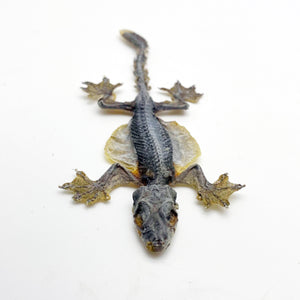 Flying Gecko Lizard SP (Ptychozoon kuhli) from Indonesia