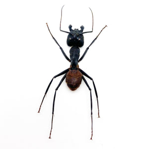 Giant Soldier Ant (camponotus gigas) (SPREAD)