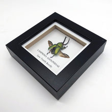 Saw Tooth Beetle in Shadow Box Frame (Lamprima adolphinae)
