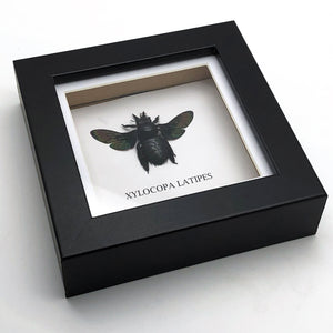 Giant Black Tropical Carpenter Bee in Shadow Box Frame (Xylocopa latipes)