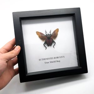 True Shield Bug Framed (Euthenestes robustus) Insect