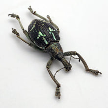 The Weevil Beetle (rhinoscapha insignis)