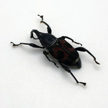 Black and Red Weevil Beetle (cercidocerus sanguinipes)