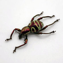 The Weevil Beetle (pachyrrhynchus speciosus)
