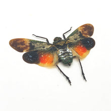 Lantern Fly (Penthicodes farinosa borneo) Insect