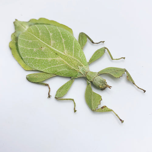 Rare Green Gray's Leaf Insect Phyllium jacobsoni (F)