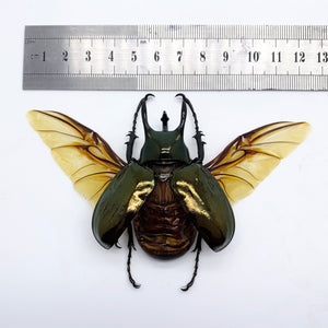 (Spread) Atlas Beetle Chalcosoma keyboh
