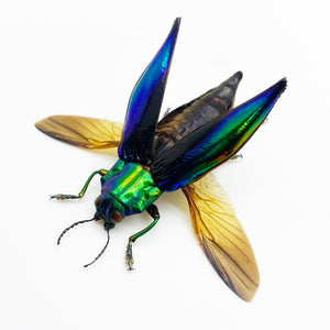Shiny Green Jewel Beetle Cyphogastra calepyga (Spread)