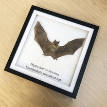 Intermediate roundleaf bat (Hipposideros larvatus) Mounted in Shadow Box