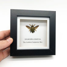 The Golden Carpenter Bee in Shadow Box Frame (Xylocopa confusa)