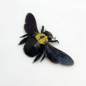 Black Gold Carpenter Bee Xylocopa Confusa - Collectables:animal Collectables:insects & Butterflies