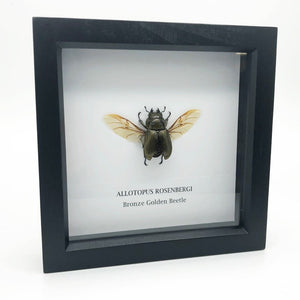 Bronze Golden Beetle In Box Frame (Allotopus Rosenbergi) Entomology Insect Frame - Collectables:animal Collectables:insects & Butterflies