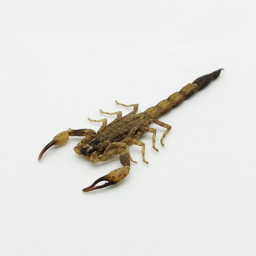 Buthus Martensi Chinese Armor Tail Scorpion - Collectables:animal Collectables:taxidermy
