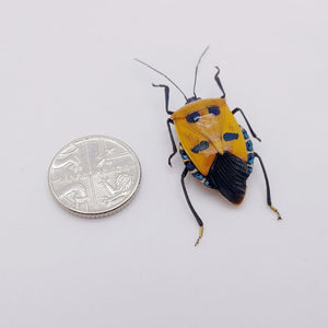 Catacanthus Incarnatus Man Faced Beetle - Collectables:animal Collectables:insects & Butterflies