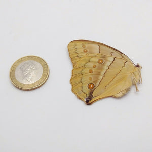 China Jungle Queen Stichophthalma Neumogeni Neumogeni Butterfly - Collectables:animal Collectables:insects & Butterflies