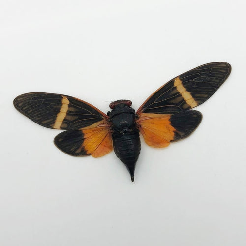 Colourful Orange Cicada (Tosena Paviei) - Collectables:animal Collectables:insects & Butterflies