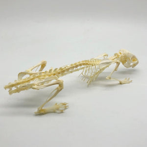 Common Rat Rattus Norvegicus Full Skeleton - Collectables:animal Collectables:taxidermy