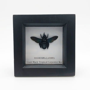 Giant Black Tropical Carpenter Bee In Box Frame (Xylocopa Latipes) Mounted - Collectables:animal Collectables:insects & Butterflies