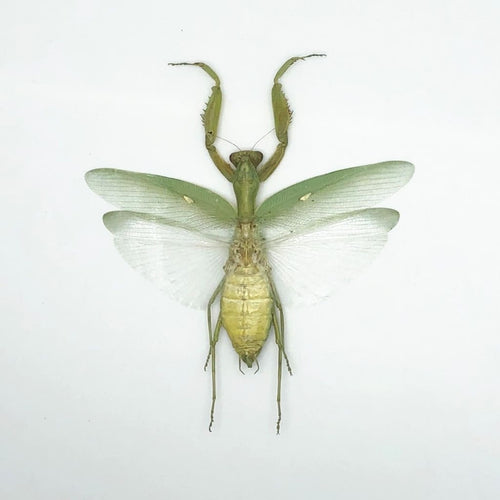 Giant Green Asian Praying Mantis (Hierodula Patellifera) - Collectables:animal Collectables:insects & Butterflies