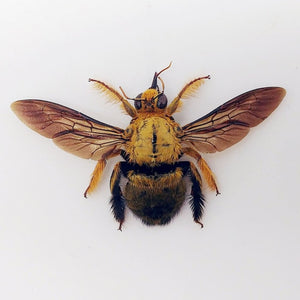 Golden Carpenter Bee Xylocopa Confusa (M) - Collectables:animal Collectables:insects & Butterflies