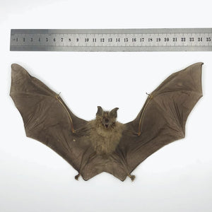 Intermediate Roundleaf Bat (Hipposideros Larvatus) - Collectables:animal Collectables:taxidermy