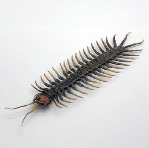 Large Centipede 16Cm (Scolopendrida Sp) - Collectables:animal Collectables:insects & Butterflies