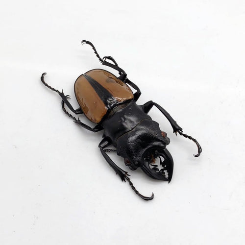 Large Odontolabis Ludekingi Stag Beetle - Collectables:animal Collectables:insects & Butterflies