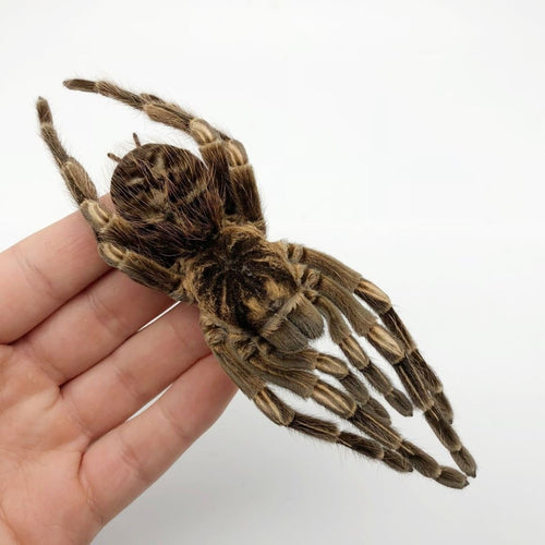 Large Orange Banded Tarantula Spider Acanthoscurria Juruenicola - Collectables:animal Collectables:taxidermy