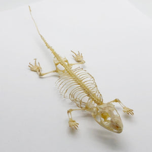 Many-Striped Skink Eutropis Multifasciata Skeleton - Collectables:animal Collectables:taxidermy