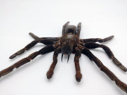 Medium Spread Taxidermy Tarantula Spider Eurypelma Spinicrus - Collectables:animal Collectables:insects & Butterflies