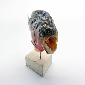 Mounted Taxidermy Red Bellied Predator Piranha Peru Amazon Pygocentrus Nattereri - Collectables:animal Collectables:taxidermy