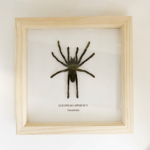 Tarantula Spider - Eurypelma Spinicrus - Mounted In Large Wooden Frame